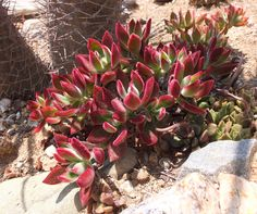 """Echeveria pulvinata 'Ruby' to 12"""", spreads, needs full sun for red tints, orange bloom spring/summer, needs summer water but little in winter, gets leggy but easy to cut and re-root in fall, easy plant to grow.  photo May '17"""