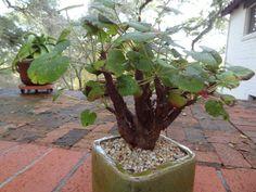 Pelargonium cotyledonis