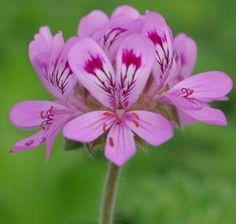 Scented geranium, Isadora