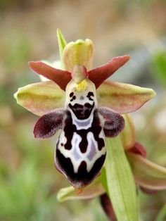 'Orchid-Mimicry': Flower of Ophrys ariadnae [Bee-Orchid] ..... Mimicking a Circus Clown - Flickr - Photo Sharing!