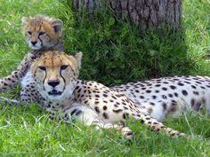 Kenia leopard Baby Animals, Africa, Kenya, Baby Pets, Animal Babies, Cubs