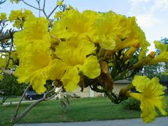 48 best flowering trees in our yard images on pinterest blossom close up of our silver tabebuia flowers florida gardening ornamental plants march mightylinksfo