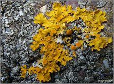 Xanthoria parietina, Irish lichens