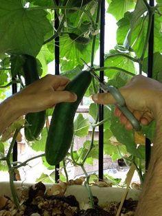 Basilic comment repiquer des plants pinteres - Faire pousser des bananes ...