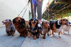 A good dog walker does more than hold your dog's leash. He makes sure your dog is safe and exercised. Learn how to choose the right dog walker here. Leash Training, Dog Training Tips, Dog Walking Business, Norwich Terrier, Baby Hippo, Most Popular Dog Breeds, Types Of Dogs, Pet Grooming, Dog Leash