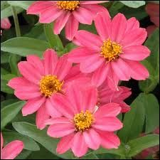 Image result for zinnia pink