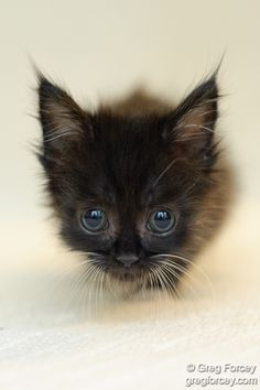 """""""A true cat lover cradles a new kitten and knows that 9 lives will never be nearly enough."""" --Unknown Author"""