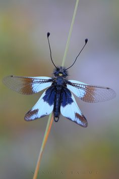 Milky Owlfly by Nikola Rahme Weird Insects, Cool Insects, Flying Insects, Bugs And Insects, Beautiful Bugs, Beautiful Butterflies, Beautiful Creatures, Animals Beautiful, Insect Photography
