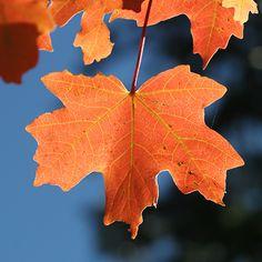 Blue and orange, Autumn leaf of a Bigtooth Maple (Acer grandidentatum) against the sky