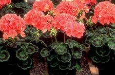 Winter Flowers - Geraniums