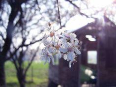 Fleur de mirabelle