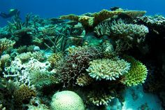 Corals at Scott Reef - Coral reefs may be more independent and resilient than previously thought.