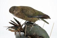 Kea, New Zealand, bird, taxidermy, Nestor notabilis Auckland Museum CC BY