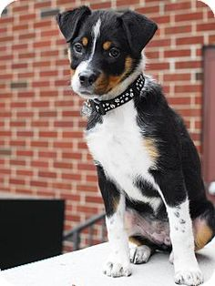 12/23/14 Detroit, MI - Bernese Mountain Dog/Shepherd (Unknown Type) Mix. Meet Cindy Lou Who, a puppy for adoption. http://www.adoptapet.com/pet/12139544-detroit-michigan-bernese-mountain-dog-mix