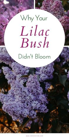 Find out why your lilac bush failed to bloom and what you can do to help it produce beautiful lilacs next Spring!