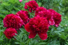 how to care for peonies after blooming Peony Care, Growing Peonies, Flora, Plants, Gardens, Autumn, Amazon, Compost, Amazons