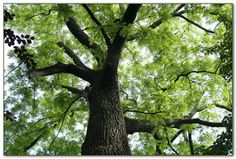 Temperate Climate Permaculture: Permaculture Plants: Walnut Trees