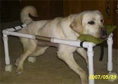 Handicapped dog in a home made wheelchait