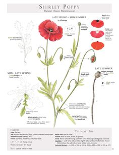 Shirley Poppy. These are pages from the book Foraging & Feasting: A Field Guide and Wild Food Cookbook by Dina Falconi and illustrated by Wendy Hollender. Published by Botanical Arts Press. Learn more about the book and how to purchase at www.botanicalartspress.com.