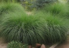 Deer Grass – Deer Grass is dependable and fast growing. This ornamental grass is the perfect softening contrast to harsh cacti and boulders in your landscape. It thrives in full sun and harsh hot temperatures of Phoenix Arizona. It generally grows to a si Hillside Landscaping, Landscaping Plants, Front Yard Landscaping, Full Sun Landscaping, Landscaping Ideas, House Landscape, Landscape Design, Landscape Grasses, Ornamental Grass Landscape