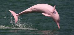 golfinho-rosa-04