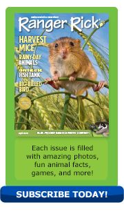 April 2014 issue of Ranger Rick - features an article about harvest mice