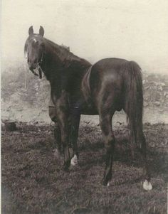 Ofir (Kuhailan Haifa X Dziwa) 1933 bay Pure Polish Arabian stallion.  Sire of Witraz, Wielki Szlem and Witez II