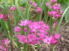 Ostrowskianum Allium - Large Bulbs, Deer Resistant, Fragrant, Cut Flowers, Dried Flowers, Borders, Showy Flowers, Easy to Grow