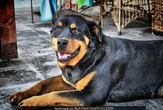 Rottweiler Aranza Has Beautiful Marks - http://www.ruffingtonpost.com/rottweiler-aranza-beautiful-marks/