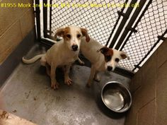 Mork and Mindy Hound Mix • Baby • Female • Medium Humane Society of Raleigh County Inc. Beckley, WV Mork and Mindy are just babies here in the shelter. This is not a great place to grow up. They would rather be puppies in someones home with a yard and kids to play with.