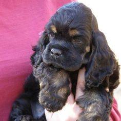 Black Cocker Spaniel, American Cocker Spaniel, Cocker Spaniel Puppies, Doggies, Pet Dogs, Dog Cat, Cute Puppies, Dogs And Puppies, King Spaniel
