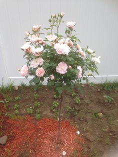 Modern blush rose tree