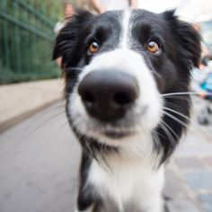 "Pepito, Border Collie (5 y/o), 5th arrondissement, Paris, France • ""Some guardian angels come in black-and-white. Doting shepherd to our one-year-old daughter Olivia."" #dog #cachorro #cute #fofo"