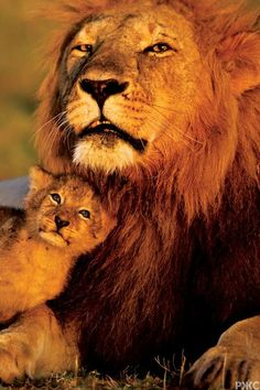 BEAUTIFUL LION DADS WITH THEIR CUBS #JUDAH ♥