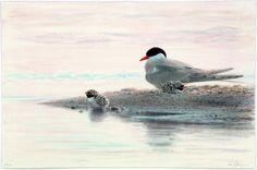 Litografier-arkiv - Lars Jonsson Bird Feathers, Museum, Birds, Nature, Animals, Art, Gull, Kunst, Art Background