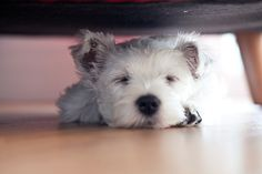 Maggie Westie Puppy What Olivia Did | What Olivia Did | Flickr