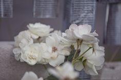 róża pnąca biała shabby chic