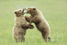dc04e401 39 Best Bears, from Lake Clark National Park, Alaska images | Wild ...