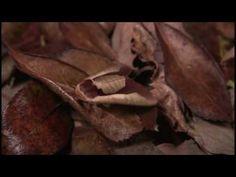 """Uropyia meticulodina  ムラサキシャチホコ      La evolución de las especies ha dado lugar a seres vivos maravillosos que en muchas ocasiones nos dejan sin aliento.  Es el caso de la """"Palomilla hoja seca"""" (Uropyia meticulodina), que no sólo es color café como las hojas secas donde se posa, sus alas son curvas e imitan el reflejo de la luz solar en las hojas reales."""