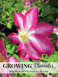 Growing Clematis | On Sutton Place