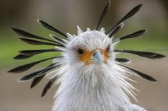 "Mention the term ""bird of prey,"" and most people think of soaring eagles and hawks. Secretary birds break that mold, as they hunt on foot. Long, stork-like legs hold most of the bird's body above vegetation, giving it a better view of potential prey."