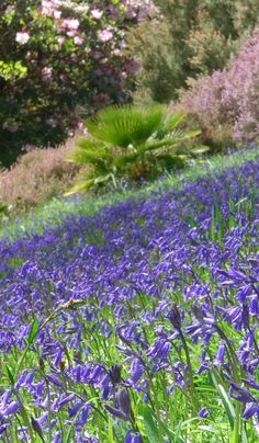 We've got a great collection of #exotic plants at #Glendurgan but inbetween them the #wildflowers steal the show in #spring. #bluebells #cornwall #natural #gardens
