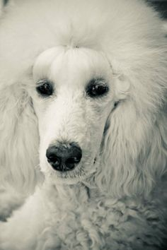 Beautiful girl #standardpoodle