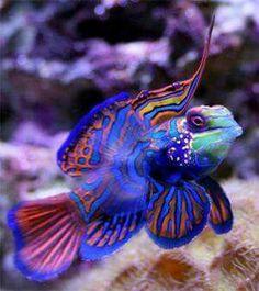 Mandarin Fish - my favorite saltwater aquarium fish Underwater Creatures, Underwater Life, Ocean Creatures, Colorful Fish, Tropical Fish, Poisson Mandarin, Beautiful Creatures, Animals Beautiful, Fauna Marina