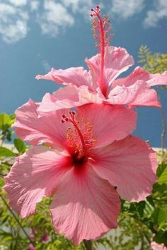 Great Cost-Free pink Hibiscus Concepts Improve hawaiian hibiscus pertaining to an enormous, vibrant seem in your yard, outdoor patio and also patio. Hibiscus Plant, Hibiscus Flowers, Flowers Nature, Exotic Flowers, Tropical Flowers, Amazing Flowers, Pink Flowers, Beautiful Flowers, Cactus Flower
