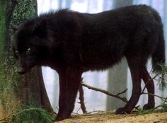 pictures of black wolves with blue eyes | Appearence: A pure black wolf with icy blue eyes.