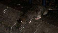 #Roubaix: interrogations autour de l'attaque par des rats d'une paraplégique de 14 ans - Boursorama: Boursorama Roubaix: interrogations…