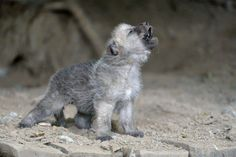 Learning how to howl...