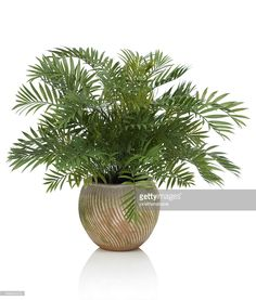 A luxurious Areca palm in a swirled mossy clay pot. Shot against a bright white background. Image has an embedded path which may be used to delete the reflection if desired.