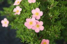 POTENTILLA fruticosa LOVELY PINK ® 'Pink Beauty'